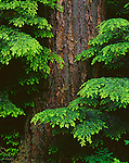 Olympic National Park, WA     <br /> Soft light on branches of Western Hemlock (Tsuga heterophylla) in the old growth forest - Soleduck Valley
