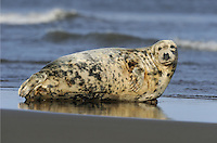 Grey Seal Halichoerus grypus Length 2.2-3.2m Bulky seal with proportionately large head. Inquisitive in water. Hauls out for long periods. Adult is greyish overall with dark blotchy spots; fewer, larger spots than on Common Seal. Males are larger and darker than females. In profile, looks 'Roman nosed': bridge of nose is convex, more pronounced in males than females. From the front, nostrils are distinctly separated and more or less parallel to one another, not V-shaped. Fore flippers have sharp claws and hind flippers propel the animal through water. Pup is born with white fur; moulted after a few weeks.Voice Utters low, moaning calls. Often found on rocky shores and tolerates rough seas heavy waves. Widespread on west coast of Britain and locally in North Sea.