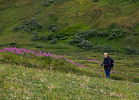 Photographer with wildflowers in subalpine heath tundra at Stony Dome, Denali National Park, Alaska. Pacific Horticulture tour Botanical Alaska 2019