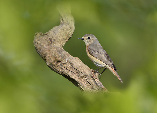 Common Redstart - Phoenicurus phoenicurus<br /> female