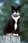 Black and White Cat, sitting on fence post, at Rescue Centre, red collar with bell, alert looking at camera, yellow eyes, white paws