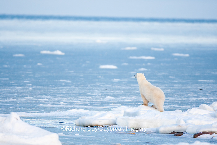 01874-12012 Polar Bear (Ursus maritimus) standing along Hudson Bay in winter, Churchill Wildlife Management Area, Churchill, MB Canada