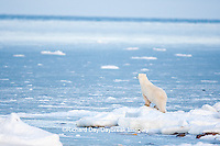 01874-12012 Polar Bear (Ursus maritimus) standing along Hudson Bay in winter, Churchill Wildlife Management Area, Churchill, MB Canada