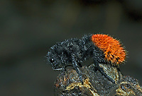 394750008 a wild female red velvet ant daymutilla magnifica poses on a dead tree limb in the rio grande valley of south texas