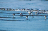 Sanderlings (Calidris alba) in Surf at Loomis Lake State Park, Long Beach, Washington, US