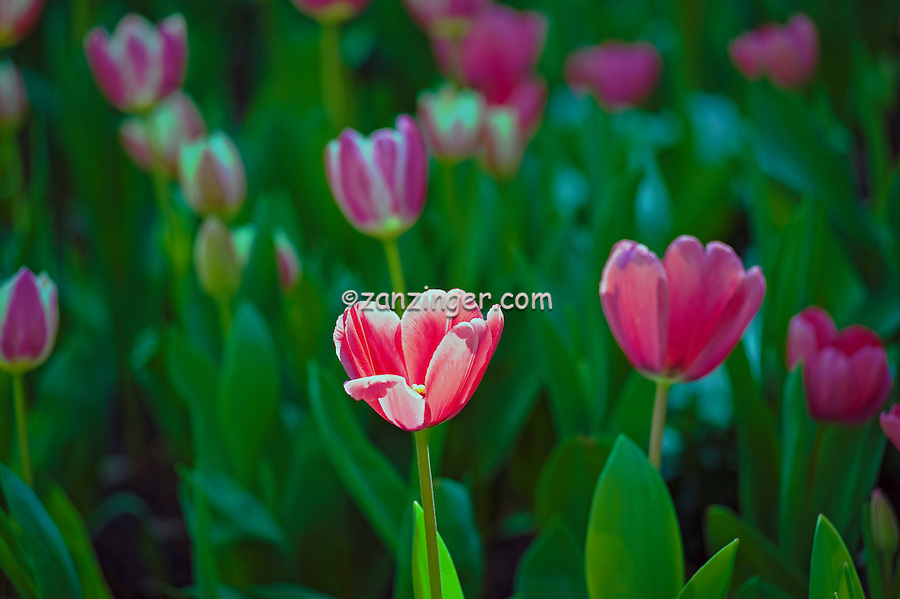 Bulbs, Tulips, Tulipa, Garden, flowers, grow, mixed, flora, botanic, colorful, blooming, spring, garden, horticulture