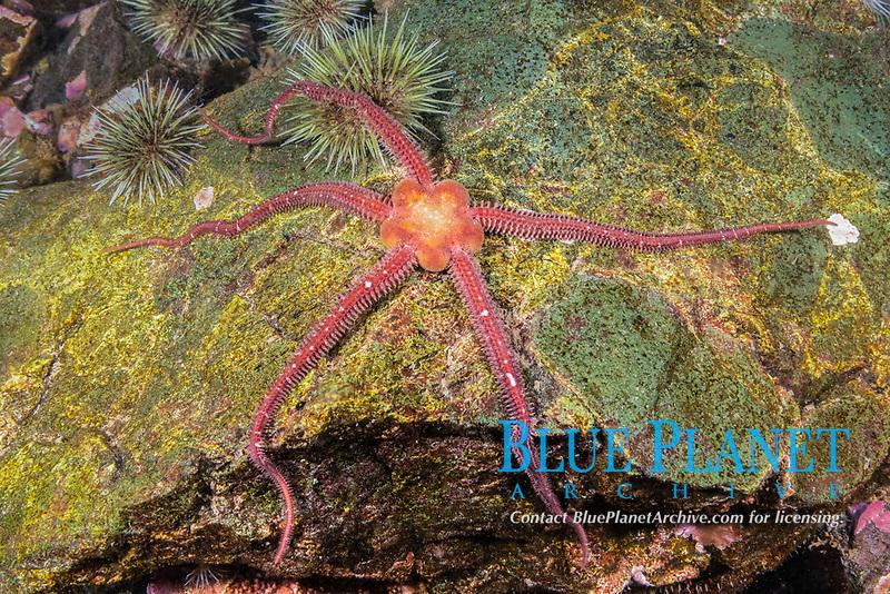 Daisy Brittle Star, Ophiopholis aculeate, Gulf of Maine, Eastport, Maine, USA, Atlantic Ocean