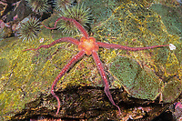 Daisy Brittle Star, Ophiopholis aculeate, Gulf of Maine, Eastport, Maine, USA, Atlantic Ocean