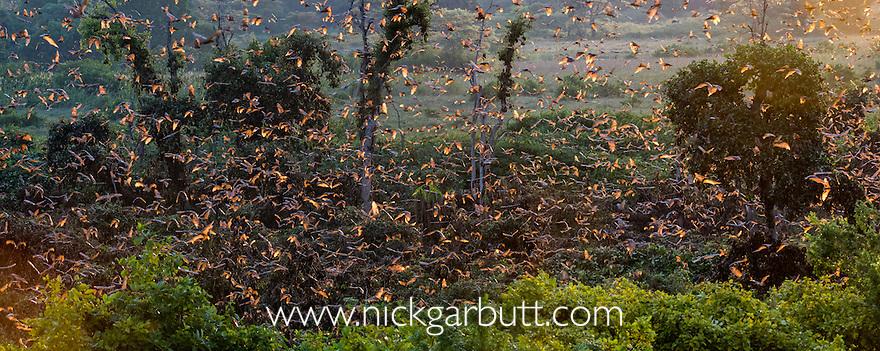 Straw-coloured Fruit Bats (Eidolon helvum) flying from roost at dusk. Kasanka National Park, Zambia. November.