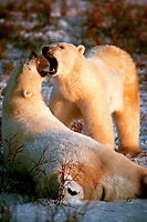 polar bear, Ursus maritimus, play fighting, Churchill, Manitoba, Canada, polar bear, Ursus maritimus