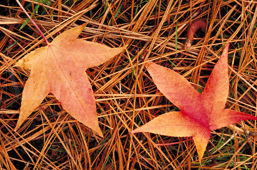 Fall sweetgum leaves and pine needles, autumn. Oregon USA Indian Mary Park, Josephine County.