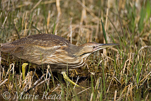 American Bittern (Botaurus lentiginosus), hunting, Montezuma National Wildlife Refuge, New York, USA.