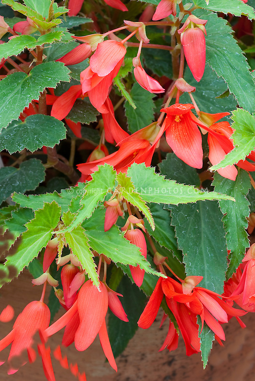 Begonia (Million Kisses) 'Devotion' aka Yadev in pot container, Begonia boliviensis