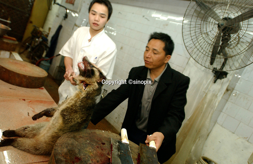 "A wild palm civet cat is prepared for a meal at a restaurant specializing in wild animals in Guangzhou, China China in this file photo. China's wild animal markets, where live wild animals and reared animals are sold are the source of many viruses that mutate as they ""jump"" from animals to humans. The coronavirus COVID-19 is thought to have originated in an animal market in China. <br /> <br /> By Sinopix Photo Agency"