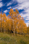 Golden Aspen leaves, aspen trees in fall, white bark, autumn, fall leaves, fall color, Markagunt Plateau, Cedar Mountain, Hwy 132, Mile Marker 24, Dixie National Forest, Utah, UT, Image ut330-17470, Photo copyright: Lee Foster, www.fostertravel.com, lee@fostertravel.com, 510-549-2202