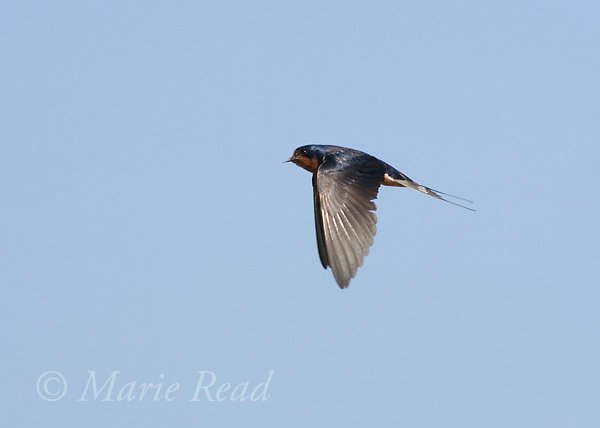 Barn Swallow (Hirundo rustica), in flight, Montezuma National Wildlife Refuge, New York, USA