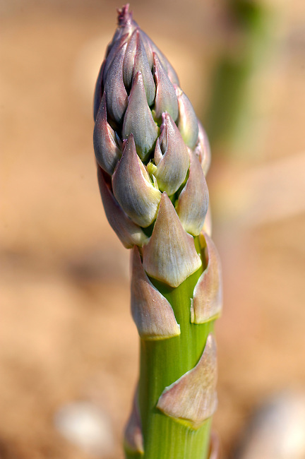 Stock photos of a bunch of fresh English asparagus spears growing . Funky stock photos images.