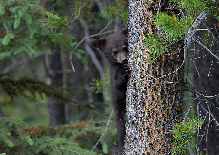 Black Bear - Ursus americanus - young cub. Jasper National Park, Canada.