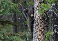 Black Bear - Ursus americanus - young cub. Jasper National Park, Canada.