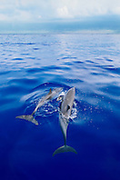 pantropical spotted dolphins, Stenella attenuata, spouting, Kona Coast, Big Island, Hawaii, USA, Pacific Ocean