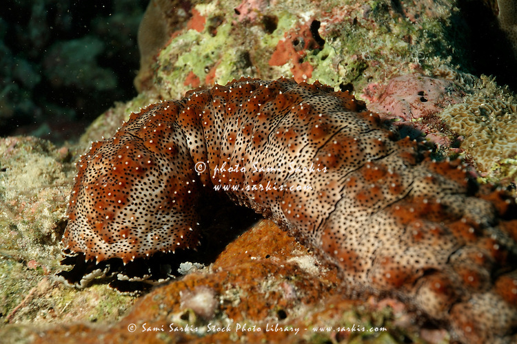Graeffe Sea Cucumber (Pearsnothuria Graeffei), Veligandu, Rasdhoo Atoll, Maldives.