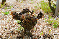 "The Disznoko winery in Tokaj: in the vineyard: a vine spring pruned in ""gobelet"" style. The Disznók? winery is owned by AXA Millesimes, a French insurance company. Disznoko means pig's head since a big rock in the vineyard supposedly looks like that. The new winery is impressive and a vast amount of money has been invested. Credit Per Karlsson BKWine.com"