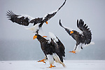 Japan, Hokkaido, Steller's sea eagles landing in snow