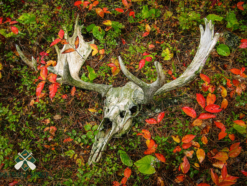 &quot;Moose Skull in Fall Foliage&quot;<br />