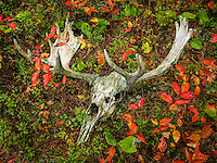 """Moose Skull in Fall Foliage""<br />