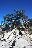 PINECONES<br /> Pinyon Pine Tree<br /> Pinus Edulis<br />  Zion National Park, UT