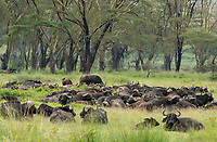 A herd of Cape Buffalo, Syncerus caffer caffer, in Lake Nakuru National Park, Kenya