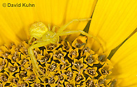 0114-1005  Crab Spider, Misumenops spp.  © David Kuhn/Dwight Kuhn Photography