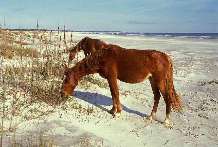 AJ2279, Cumberland Island, horses, Georgia, Feral horses grazing on the sand dunes on Cumberland Island National Seashore along the Atlantic Ocean.