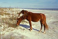AJ2279, Cumberland Island, horses, Georgia, Feral horses grazing on the sand dunes on Cumberland Island National Seashore along the Atlantic Ocean.