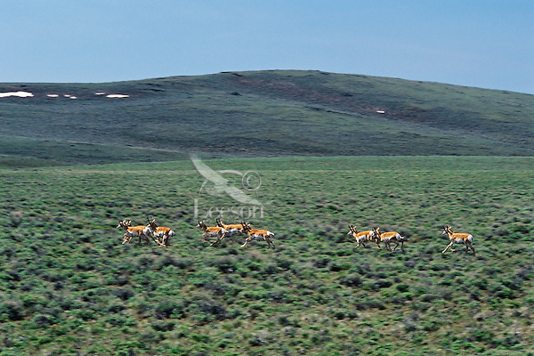 Pronghorn antelope running across sage flats, Sheldon National Wildlife Refuge, Nevada.  June.