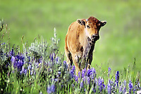 Bison (Bison bison) calves are born in early May in Yellowstone. Here a curious calf strays (only a few yards) from the herd and finds its self among the lupine.