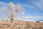 Grand Staircase-Escalante National Monument, Utah; leafless tree and tumbleweed with red sandstone cliffs and blue sky, off Highway 89 between Page and Kanab