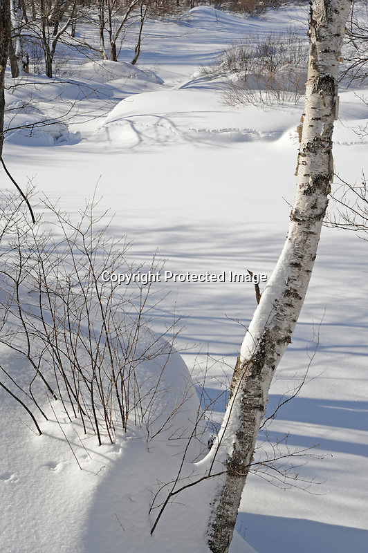 Birch Tree by a Snow Covered River in Wintry New Hampshire