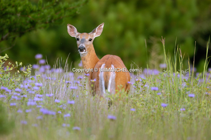 00275-190.13 White-tailed Deer (DIGITAL) doe is in meadow with blooming wild burgamot.  Note insects around deer's head.  H3A1