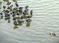 Stock photo: Spotted bill duck  swimming against many common-coots in Lakhota pond in Jamnagar Gujarat India.
