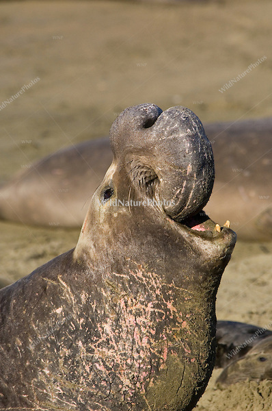 Male Northern Elephant Seal (Mirounga angustirostris) roaring, displaying large proboscis; Central California