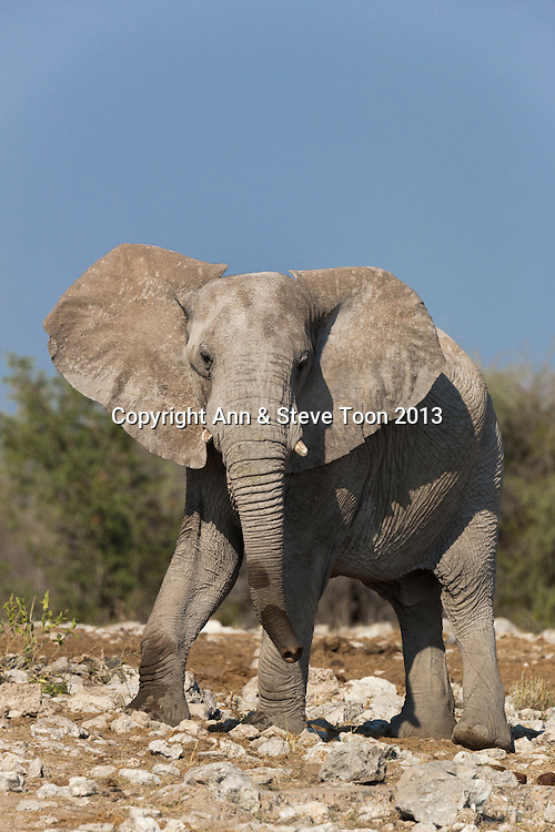 Elephant (Loxodonta africana), Etosha national park, Namibia, May 2013