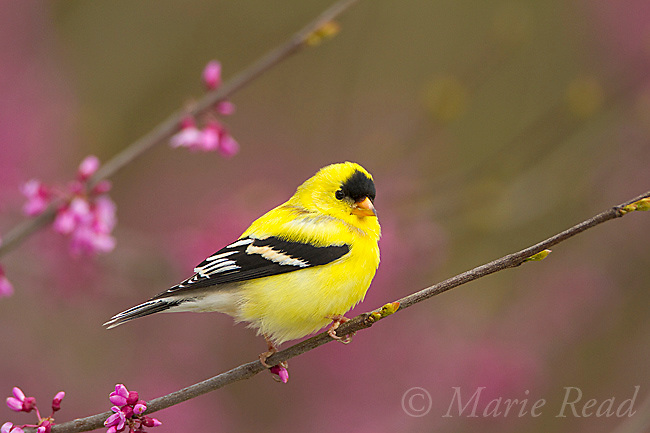 American Goldfinch (Carduelis tristis) male in breeding plumage perched in flowering redbud in spring, New York, USA<br /> (Slight digital retouch to remove small yellow feathers on forehead)