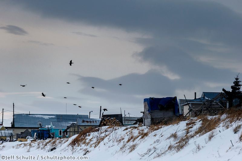 Ravens hover in the 35 mph winds over the Unalakleet checkpoint in the morning on Monday March 16, 2015 during Iditarod 2015.  <br /> <br /> (C) Jeff Schultz/SchultzPhoto.com - ALL RIGHTS RESERVED<br />  DUPLICATION  PROHIBITED  WITHOUT  PERMISSION