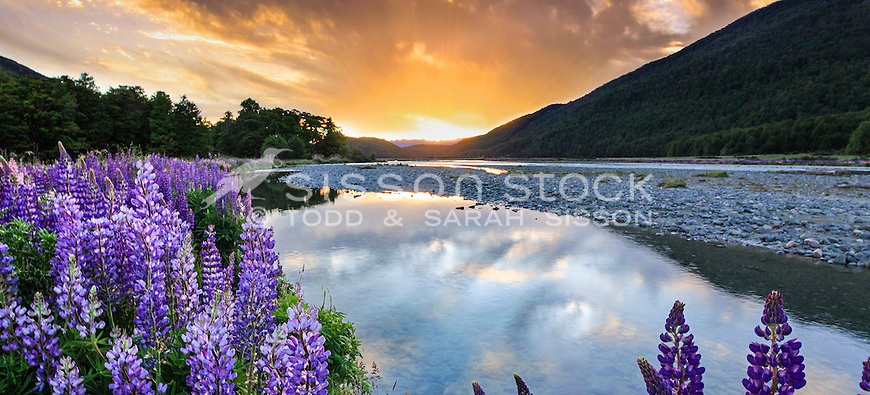 Purple lupins at sunset in the Eglinton Valley, Fiordland, New Zealand - stock photo, canvas, fine art print