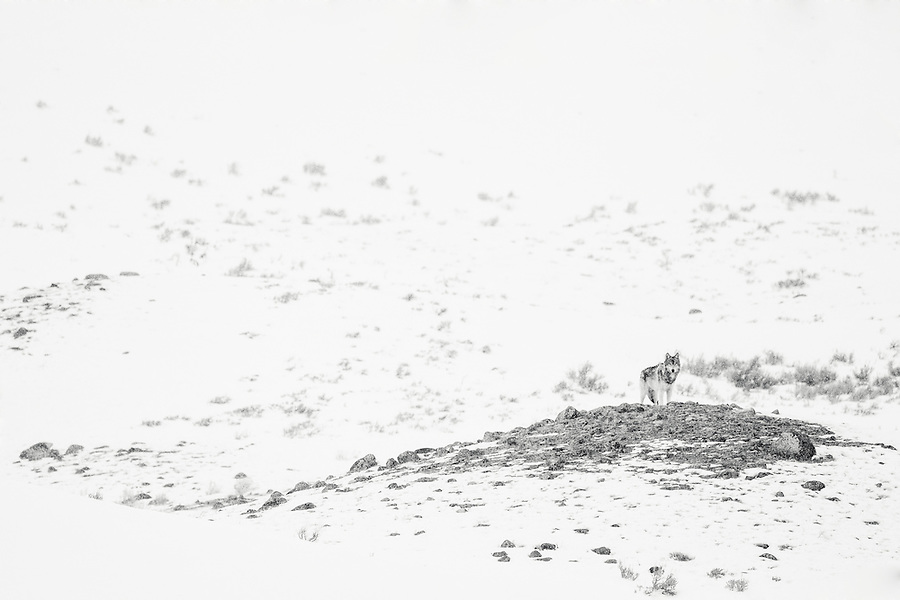 A solitary gray wolf stands on a rocky hill, making eye contact with the viewer in Yellowstone National Park, Wyoming.