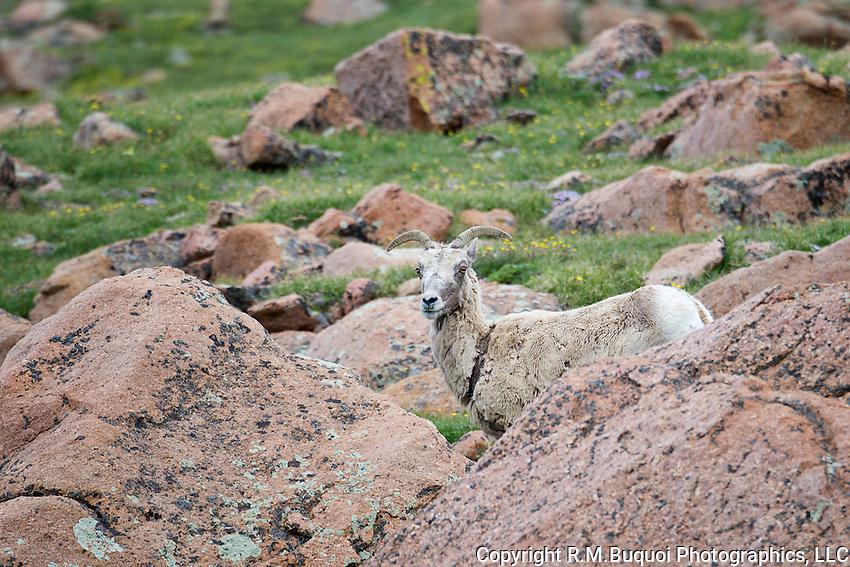 Big Horn Sheep ewe on Pike's Peak.
