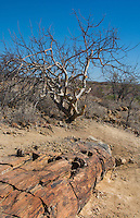 Namibia Africa Petrified Forest National Park oldest 2000 year old petrified wood  tree and plants in Namibia welwitschia mirabilis tree