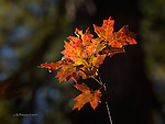 Maple Leaves in Sunbeam, West Fork