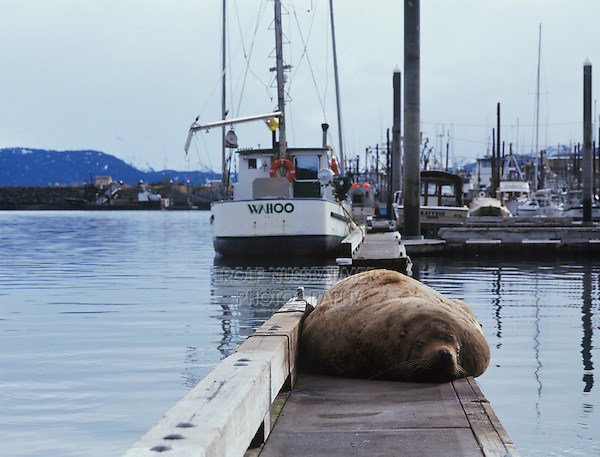 Steller's Sea Lion, Eumetopias jubatus, male resting on pier, Homer, Alaska, USA, March 2000